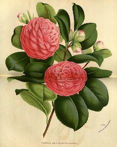 Camellia hort. cv. Mad. L. van Houtte - circa 1845