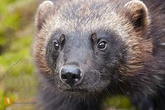 Marder Bilder - Wildlife Media Bildagentur - Natur und Umwelt im Bild