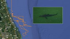 Research group tweets picture of great white shark swimming off Flagler Beach | News  - Home