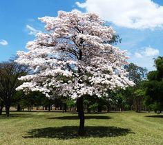 A florada dos Ipês Brancos - Conheça Minas