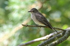 Spotted Flycatcher http://www.veeseire.ee/search?q=pildialbum