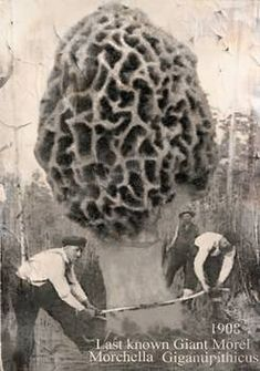 """""""last giant morel mushroom"""" by Elk Thorn Melrose: In the year 1908 the last known Giant morel was harvested. The Morchella Gigantipithicus fungi is a mushroom hunters dream, perfect gift for the shroomer to the morel hunter or fungi, botany"""