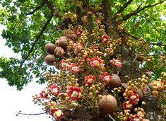 Mudas de Abricó de Macaco Abricó de Macaco  Já iniciamos a venda de novo lote de mudas de Abricó-de-Macaco (Couroupita guianensis), uma das mais interessantes árvores de nossa coleção botânica.  Preço: Mudas com 90/120cm a R$ 12,00