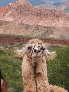 Llamas en Cafayate, Argentina. Amazing Places, Beautiful Places, City Break, Train Travel, World Traveler, Luxury Travel, Where To Go, Continents, Day Trips