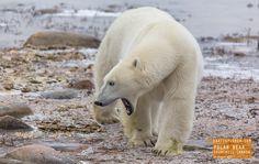 Polar Bear Shows his Teeth in Churchill Canada — earthXplorer adventure travel…