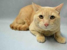 """NALA - A1064197 - - Brooklyn Please Share: ***TO BE DESTROYED 02/10/16***SUPER SWEET GINGERBREAD MAN NEEDS RESCUE ANGEL! A volunteer writes, """"Nala is an orange tabby, but not the bright orange of Morris the Cat; he has a light, peachy color. He is affectionate, and looks bigger than he really is. He enjoys a nice pat on the head and looks at you with such soulful eyes. Nala has lived with children, although he didn't play with them often. He is ten years old and seem"""