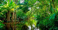 Did you know that about of natural medicines have been discovered in rainforests? EdExcel A GCSE Geography - Ecosystems, Biodiversity & Management Revision Bookmarks Ecuador, African Jungle, African Rainforest, Tableau Design, Amazon River, Tropical Forest, Jungles, Parc National, Stock Foto
