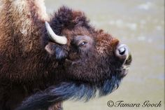 A bison cow calls out to her wandering calf.