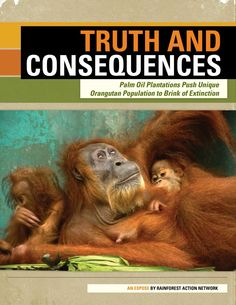 A manmade inferno inside the globally renowned Tripa rainforest in Aceh, Indonesia is pushing this forest's unique population of Sumatran orangutans to the brink of extinction.    Read more: Truth and Consequences: Palm Oil Plantations Push Unique Orangutan Population to Brink of Extinction