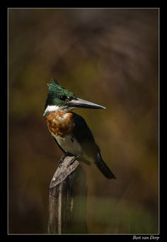 Amazon kingfisher (Chloroceryle amazona)  is a resident breeding bird in the lowlands of the American tropics from southern Mexico south through Central America to northern Argentina, with at least one bird having strayed north to Texas. CERYLIDAE