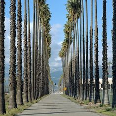 https://flic.kr/p/9tLxyK | palm trees. north redlands, ca. 2011. | just read that these 100+ year old palm trees along nevada street in north redlands have been removed for road widening and the construction of a new distribution warehouse. until the early 1980s, this area was the citrus capital of california with millions of orange trees and rows upon rows of tall palms lining the roads. its almost all gone now.  mamiya 6MF 150mm f/3.5L. kodak portra 160NC. lab: A&I color, hollywood, ca...