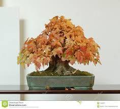 Resultado de imagen para shohin bonsai