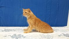 Meet+Fluffy,+a+Petfinder+adoptable+Domestic+Long+Hair+Cat+|+Carthage,+NC+|+Meet+Fluffy!Fluffy+is+a+5+year+old+tabby+looking+for+a+loving+furever+home.++He+is+a+handsome+fella...
