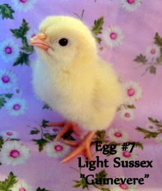 Fresh Eggs Daily: Light Sussex - Pink Egg Layers