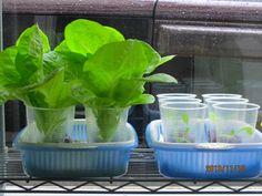 土を使わず100円ショップのザルで育てるレタス水耕栽培 左は9月24日種蒔き50...