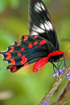butterfly Vizinzham