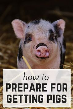 Getting ready for pigs is a little more complicated than I first realized - DON'T bring home pigs til you've thought through these 6 things!