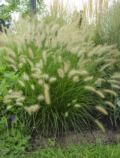 There are many types of grass but the long tall grass is beautifull around pools and for landscape. The nice thing is you can enjoy the grass all winter then cut is real short in the spring. It is great for a little bit of privacy in the front or back yard.