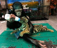 Chimpansie feeding a baby tiger