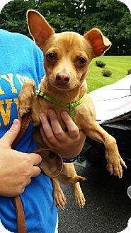 Glastonbury, CT - Chihuahua. Meet Coco - local a Dog for Adoption.