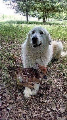 "The large white dog protects the fawn as the hunters approach. The fawn faints, and the dog growls. ""Stay back"" barks the dog, a shape changer. Up to 4 people I am the fawn) Animals And Pets, Baby Animals, Funny Animals, Cute Animals, Royal Animals, Animal Jokes, Nature Animals, Cute Puppies, Cute Dogs"