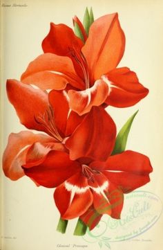 flowers-29511 - gladiolus [3268x5001] - download 18th floral commercial Artscult wall decoration books Paper ArtsCult.com flowers 1700s 1900s free flora craft domain flower public pre-1923 300 dpi ornaments masterpiece Edwardian instant scrapbooking beautiful 17th digital Pictorial 1800s engravings  botanical collage old art naturalist collection clipart picture blooming printable Graphic nice qulity transfer pages fabric scan vintage ArtsCult lithographs paintings supplies royalty plants…