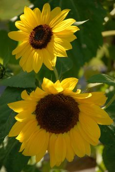 Sunflowers #2 from Nature & The Outdoors Part II by Lafayette Wattles, via Behance