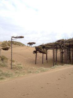Windblown trees near Formby Beach