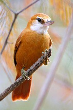 Bico-virado-da-caatinga