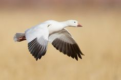 """Inflight Snow Goose on the Bosque del Apache """"Farm Loop"""" Aquatic Birds, Snow Goose, Mother Goose, Cute Animals, Ducks, Storks, Taxidermy, Wood Burning, Feathers"""