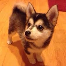 Image result for crossbreed of a husky and a corgi