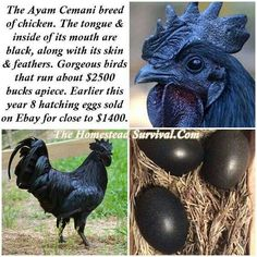The Ayam Cemani breed of chicken. I want one of these chickens! Chickens And Roosters, Pet Chickens, Chickens Backyard, Black Chickens, Farm Animals, Animals And Pets, Cute Animals, Keeping Chickens, Raising Chickens