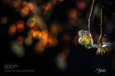 http://ift.tt/2jr6Zkd #Nature_breathtaking #Photos 白梅 by yuki_