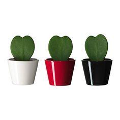 HOYA KERRII Plante avec vase - IKEA