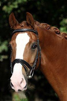 hunter jumper dressage horse