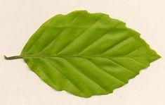 Leaf beech.JPG (649×411)
