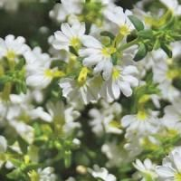 White Sundiva Scaevola. When other plants begin to fade in the Texas heat, this one thrives. Click for more.