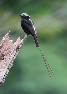 Long-tailed Tyrant (Colonia colonus) / Atrapamoscas rabijunco | Flickr