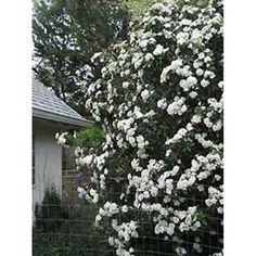 osterschneeball schneeball viburnum burkwoodii anja hecke pinterest. Black Bedroom Furniture Sets. Home Design Ideas