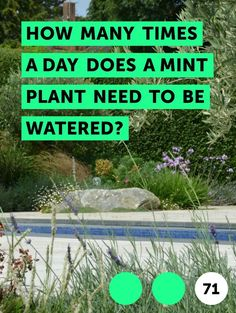 How Many Times a Day Does a Mint Plant Need to Be Watered?. Many people encounter mint on a daily basis when using toothpaste, gum or mouthwash, and it's also a staple in the medicine cabinet. As a digestive aid, it eases stomach cramps and nausea, expels gas, cures hiccups and soothes headaches with its cooling effect. Mint and all of its...