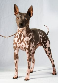 What do you know about the American Hairless Terrier? This breed is especially great for allergy sufferers! What do you know about the American Hairless Terrier? This breed is especially great for allergy sufferers! Terrier Breeds, Terrier Dogs, Dog Breeds, Rat Terriers, Hairless Animals, Pet Dogs, Dogs And Puppies, Doggies, Mexican Hairless Dog