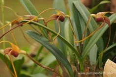 Masdevallia hystrix, pictured on the Writhlington Orchid Project's Gold Medal…