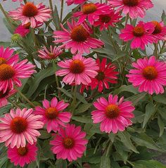 Gardening Flowers KISMET Raspberry Echinacea is a hot new perennial for 2019 - As you decide which plants will grace your gardens and pots this year, check out these new plants that will make an appearance at your local garden center. Beautiful Flowers Garden, Beautiful Gardens, Container Plants, Container Gardening, Gardening Vegetables, Growing Raspberries, Pot Plante, Flower Landscape, Annual Flowers