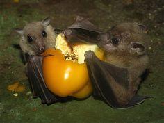 Egyptian Fruit Bats sharing fruit.