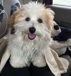 Evie a Happy Coton de Tulear Dog Havanese Puppies, Baby Puppies, Baby Dogs, Cute Puppies, Pet Dogs, Dogs And Puppies, Maltipoo, Doggies, Coton De Tulear Puppy