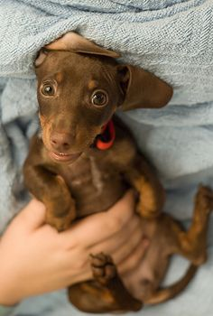 Chocolate doxie pup