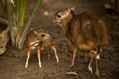 Tragulus is a genus of even-toed ungulates in the Tragulidae family that are known as mouse-deer.[1] Tragos refers to a goat in Greek, while –ulus in Latin means 'tiny'. With a weight of 0.7–8.0 kg (1.5–17.6 lb) and a length of 40–75 cm (16–30 in), they are the smallest ungulates in the world, though the largest species of mouse-deer surpass some species of Neotragus antelopes in size.
