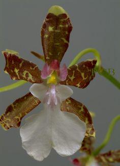 Oncidium leucochilum