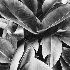 black and white #palms #palmtrees