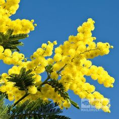 Acacia dealbata - Mimosa Tree Acacia dealbata is an evergreen tree with fragrant flowers which resem Small Garden Trees Uk, Acacia, Mail Order Trees, Fairy Tree Houses, Costa, Blossom Garden, Street Trees, Baumgarten, Landscaping